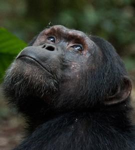 Chimpanzee Trekking Rwanda