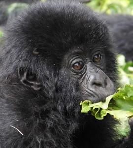 Rwanda Gorilla Watching