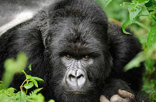 rwanda silverback gorilla trekking