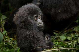 1 Day Gorilla Excursion